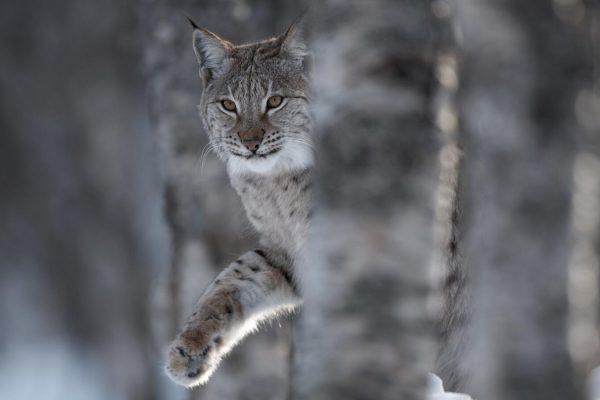 European Lynx (Lynx lynx) adult female peering out from behind tree in winter birch forest. Bardu, Norway (c)