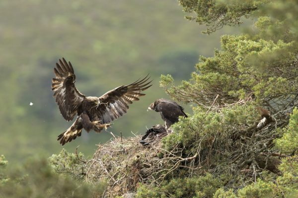 Golden eagle (Aquila chyrsaetos) adult female flying into nest site with small branch, Cairngorms National Park, Scotland