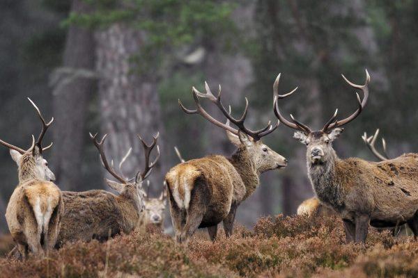 Red Deer (Cervus elaphus) stags in native pinewood, Cairngorms National Park, Scotland, February 2006